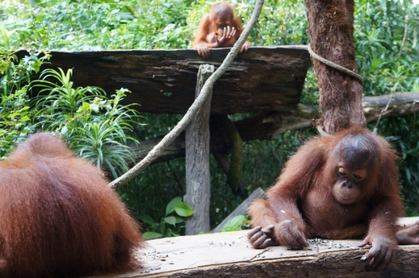 YOUNG ORANGUTANS HANG OUT WITH VISITORS