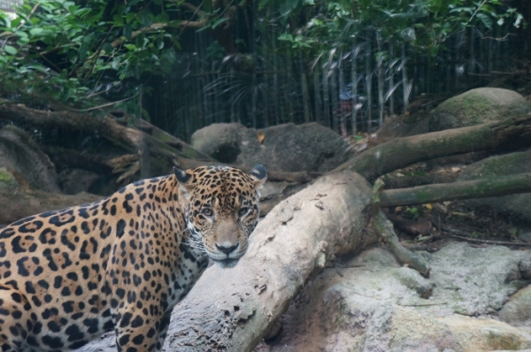 the jaguar's enclosure for example, is ridiculously small.